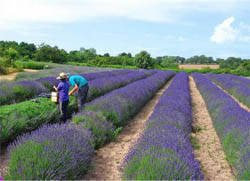 Working on a Lavender Farm